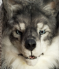 Lakota Wolf's picture