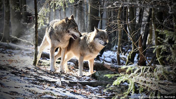 Flayrah_wolf.jpg