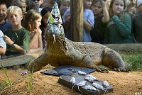Komodo dragon party hat