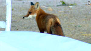 Red Fox, photo by CNN